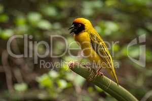 Masked weaver bird perched on green plant