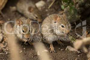 Mice eating among rocks seen through branches