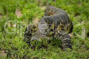 Monitor lizard crawls through grass towards camera