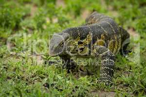 Monitor lizard crawls towards camera through grass