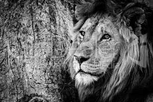Mono close-up of male lion beside tree