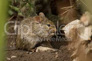 Mouse eating among rocks seen through grass