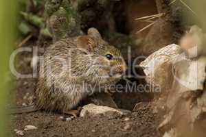Mouse eating among rocks seen through grass
