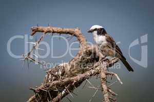 Northern white-crowned shrike perched on thorny branch