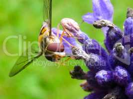 Insect on purple flower