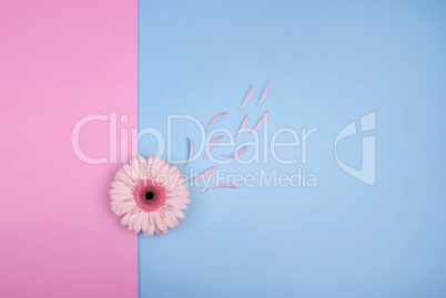 Pink gerbera flower on pink blue background. Punchy Pastels top view