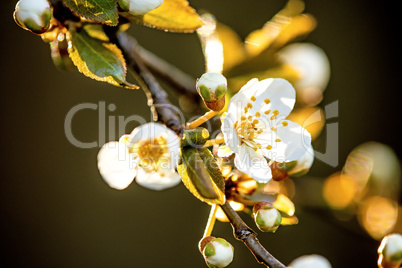 Wild cherry blossom in Germany in spring