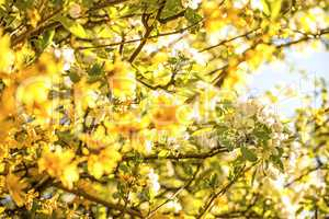 cherry blossom within forsythia blossoms in Germany in spring