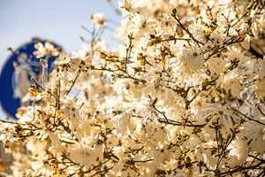 Magnolia blossom with German pedestrian street sign