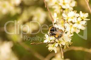 buff-tailed bumblebee on hawthorn flower