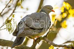 dove sitting on a tree