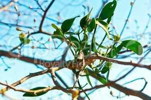 Bush is mistletoe, a plant parasite mistletoe on a tree, the parasitic plant on a tree branch