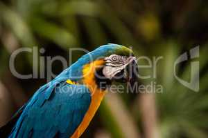 Blue and gold macaw bird Ara ararauna