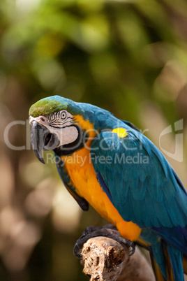 Blue and gold macaw bird Ara ararauna
