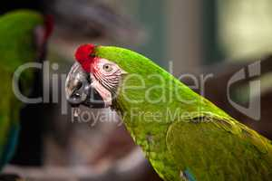 Military macaw bird Ara militaris