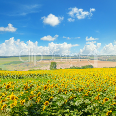 Field with blooming sunflowers and cloudy sky.
