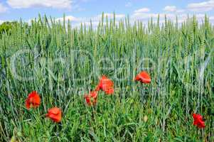Green field and blue sky. Against the background of wheat ears s