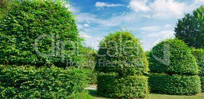 Hedges and ornamental shrub in a summer park. Wide photo.