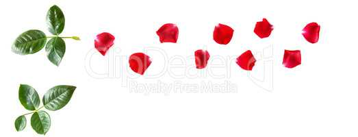 Flowers composition. Petals of a red rose isolated on white back