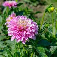Dahlia on background of flowerbeds. Focus on flower.