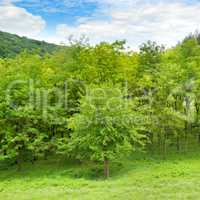 Forest in spring with green trees and bright day.