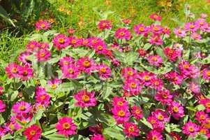 Background of beautiful flowers zinnias.