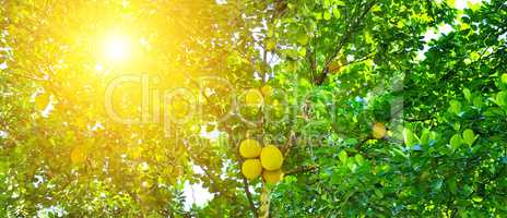 Ripe breadfruit (Artocarpus altilis) on a tree. Wide photo.
