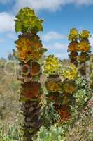 Royal hakea, Fitzgerald River National Park, Western Australia