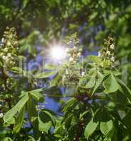 branch of chestnut with green leaves and white flowers