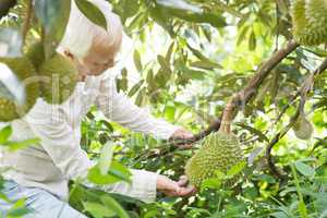 Orchard owner and durian tree.