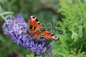 Rote Motte auf einer blauen Blume