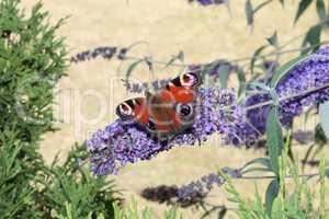 Rote Motte im Hintergrund einer blauen Blume