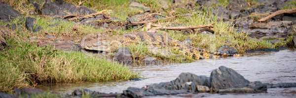 Panorama of Nile crocodile on river bank
