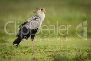 Secretary bird stands in grassy meadow staring