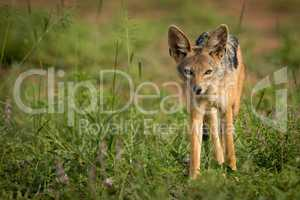 Silver-backed jackal standing in patch of grass