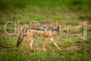 Silver-backed jackal walks in sunshine among flowers