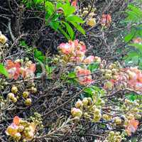 The flower of the sacred Bo tree. Sri Lanka.