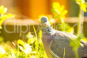 dove sitting in a meadow