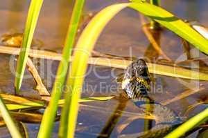 European grass snake in a moor lake in Poland