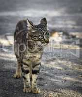 street young gray tabby cat walking along the street