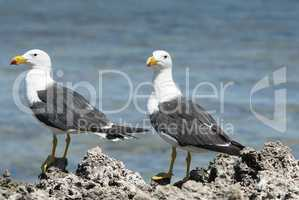 Pacific Gull, Larus pacificus