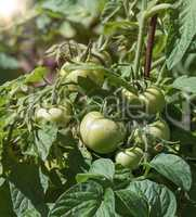 bush with green tomatoes in the garden