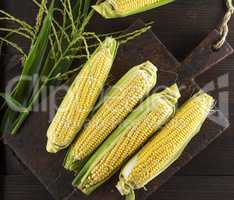 fresh ripe corn cobs on a brown wooden board
