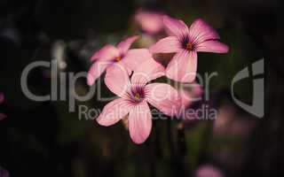 pink oxalis flower close up