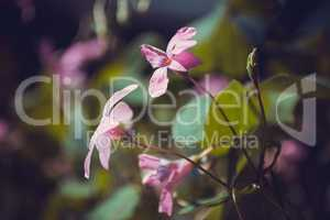 light pink oxalis flower close up
