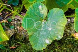 Mehltau an Gurken und Kürbis Blättern