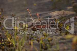 Florida softshell turtle Apalone ferox in a pond