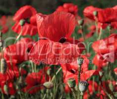 field with blossoming red poppies