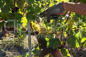 Hands of a grape harvester cutting a white grape bunches