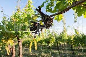Trunk of vine in the vineyard